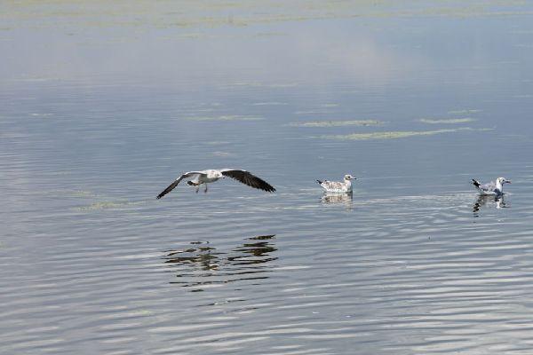 青海(hai)湖︰水鳥競飛